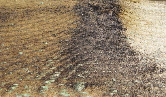 Stockflecken die durch hohe Holzfeuchtigkeit bei frisch imprägniertem Holz entsteht.